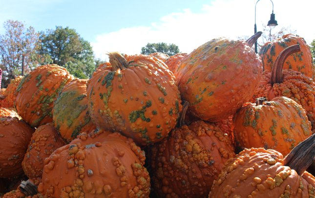 Ugly Pumpkins at Linvilla Orchards