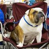 Bulldog sitting in chair at dog show