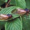 Cicadas Brood V