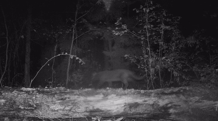 South Jersey Mountain Lion?