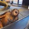 121015_Orangutan