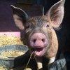 04082015_Pig