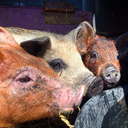 04272015_Piggies