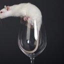 110816_Rats