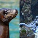 Seal Octopus
