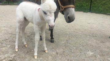 Mini-Donkey Baby