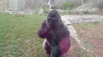 041715_gorilla