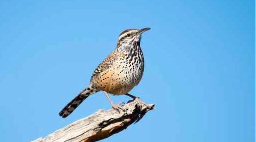 042815_songbird