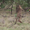 Kangaroo Vs. Man