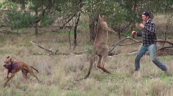 Kangaroo Vs. Man