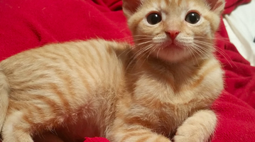 Kitten 'Bitz' ready for adoption