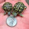 101815_Tortoises
