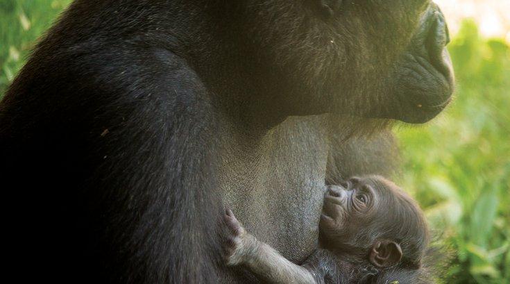 newborn baby gorilla