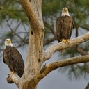 bald eagles delaware