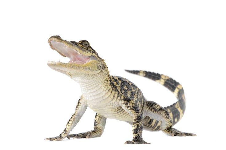 081517_stock_alligator