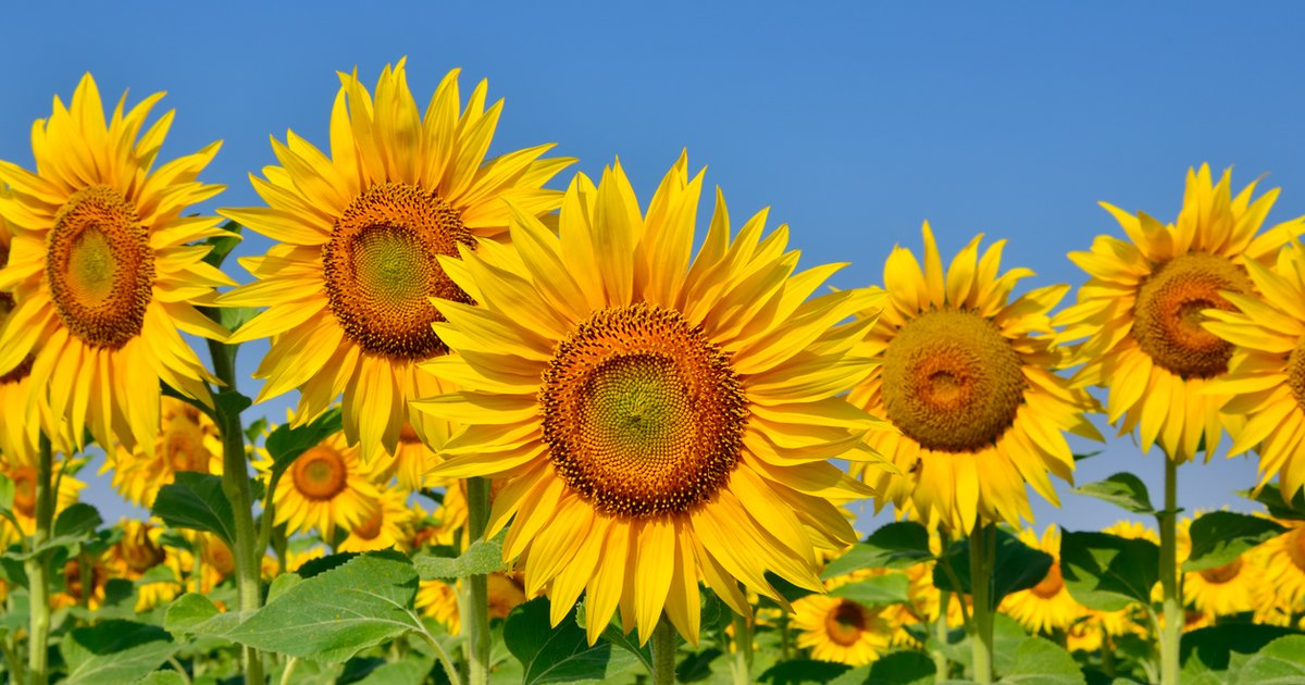 people are flocking to this beautiful sunflower field that's a