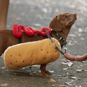 Dachshund Dressed In Hot Dog Costume