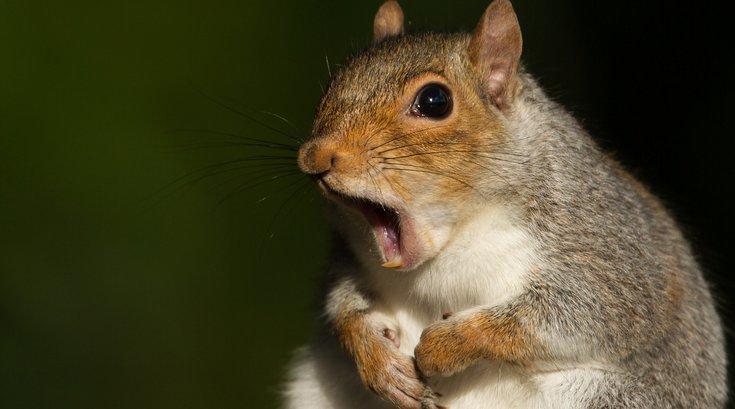 Squirrel Stock