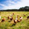 Birds Chickens Stock