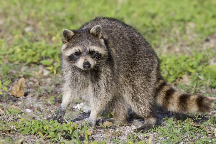 Raccoon attacks baby girl inside apartment