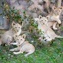 Lion Cubs zoo