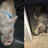 Elkins Pigs