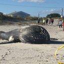 sea isle beached whale 2