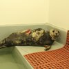 shark wounded seal