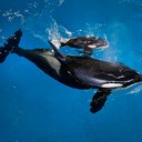 SeaWorld Last Orca Birth