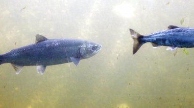 Ocean Blob Salmon