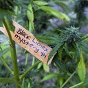 Medical Marijuana philadelphia
