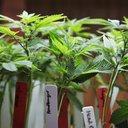 Poll Marijuana vs Opioids