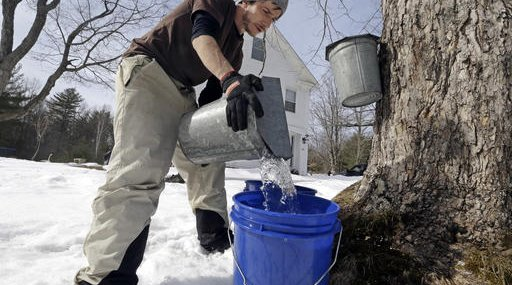 Maple Syrup Changing Climate