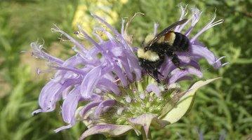 Endangered Bumblebee