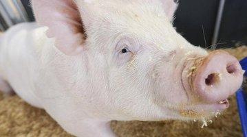 PIG-VIRUS-TRADE