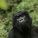 Endangered Great Apes