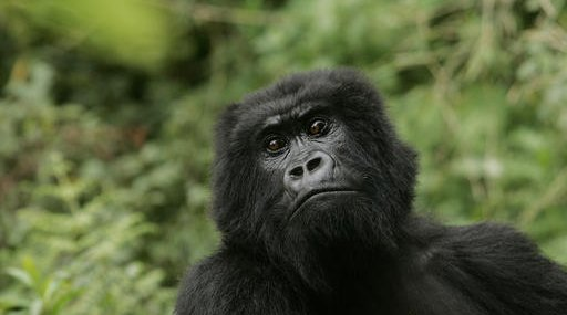 Endangered Great Apes