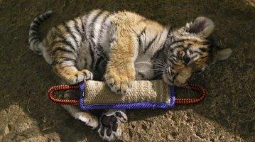 Hand Raised Tiger