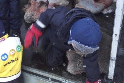 Norway Reindeer Slaughter