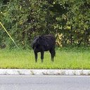 ODD Bull on the Interstate