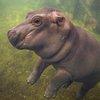 Baby Hippo Facebook Show