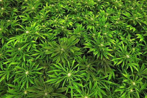 Marijuana Health Effects