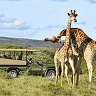 Limited - Shamwari Safari Giraffes