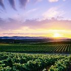 Vineyard in Sonoma, California